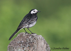 male Pied Wagtail photo