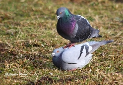 pigeons mating