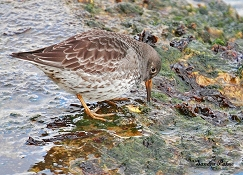 purple sandpiper wader bird