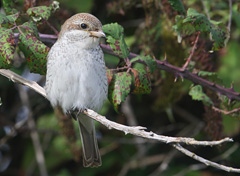 red-backed shrike on twig