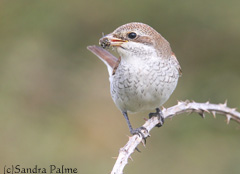red-backed shrike with bee
