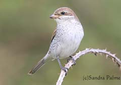 Juvenile Red-backed shrike Lanius collurio
