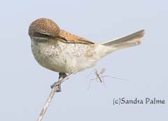 Juvenile Red-backed shrike with crane fly
