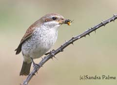 Juvenile Red-backed shrike with bumblebee