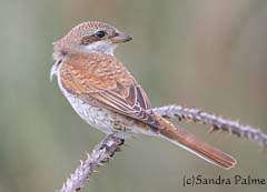 Juvenile male Red-backed shrike