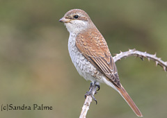 Juvenile Red-backed shrike Tidemills