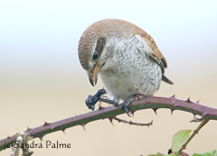 Red-backed shrike feeding on Devil's Coach Horse Beetle