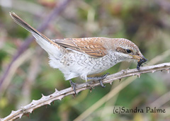 Juvenile Red-backed shrike feeding on Devil's Coach Horse Beetle
