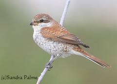 Juvenile Red-backed shrike Sussex