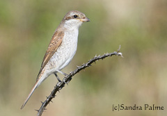 Juvenile Red-backed shrike bird