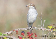 Juvenile Red-backed shrike bird on bramble