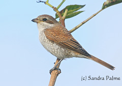 Red-backed shrike photo