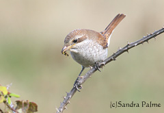 Red-backed shrike with wasp
