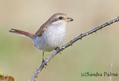 Red-backed shrike picture