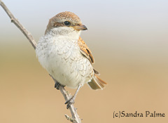 red-backed shrike East Sussex