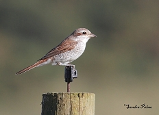 Red-backed shrike bird