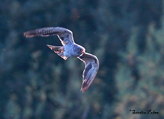 red-footed falcon in flight