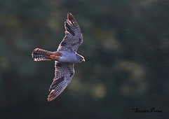male red-footed falcon in flight