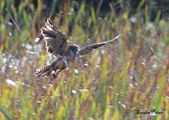 red-footed falcon hunting