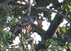red-footed falcon feeding on dragonfly