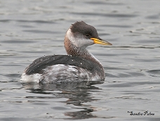 red-necked grebe winter plumage