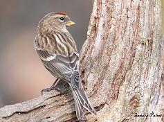Lesser Redpoll bird