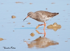 redshank photo