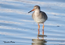Common Redshank photo