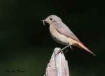 Female Redstart with insect food