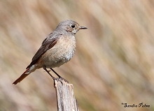 Female Redstart photo
