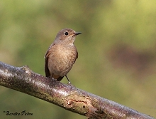 female common redstart
