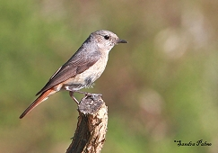 female redstart Ashdown Forest bird