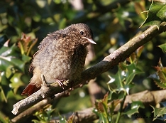 redstart fledgling Sussex