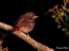 redstart fledgling evening light