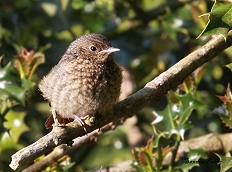 common redstart fledgling