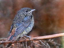redstart fledgling