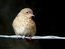 juvenile redstart photo