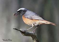 common redstart photo