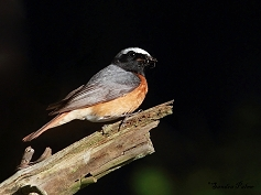 male common redstart Sussex bird