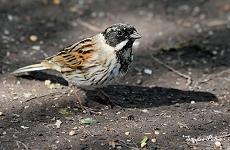 Male Reed Bunting bird
