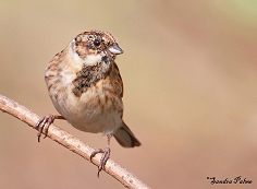 Male Reed Bunting winter plumage