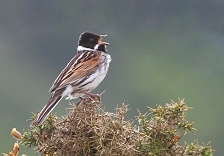 Male Reed bunting in full song