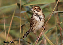 Reed Bunting winter plumage
