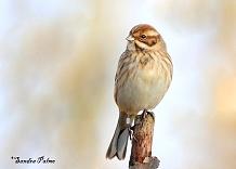 Female Reed Bunting photo