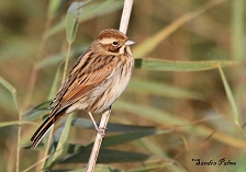 Female Reed Bunting picture