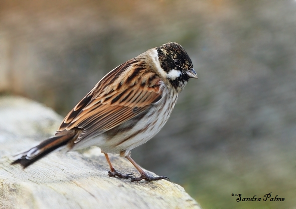 Reed Bunting Bird Photos By Sandra Palme