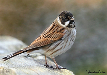 Male Reed Bunting photo