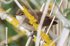Reed Warbler photos