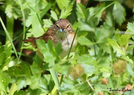 Reed Warbler with dragonfly