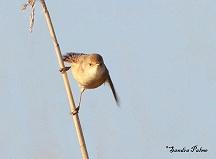 reed warbler bird